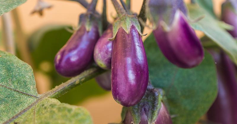 how to grow an eggplant