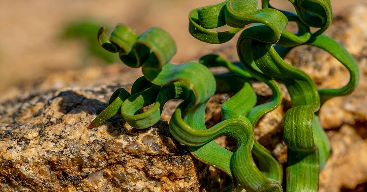 ribbon-l;ike house plant