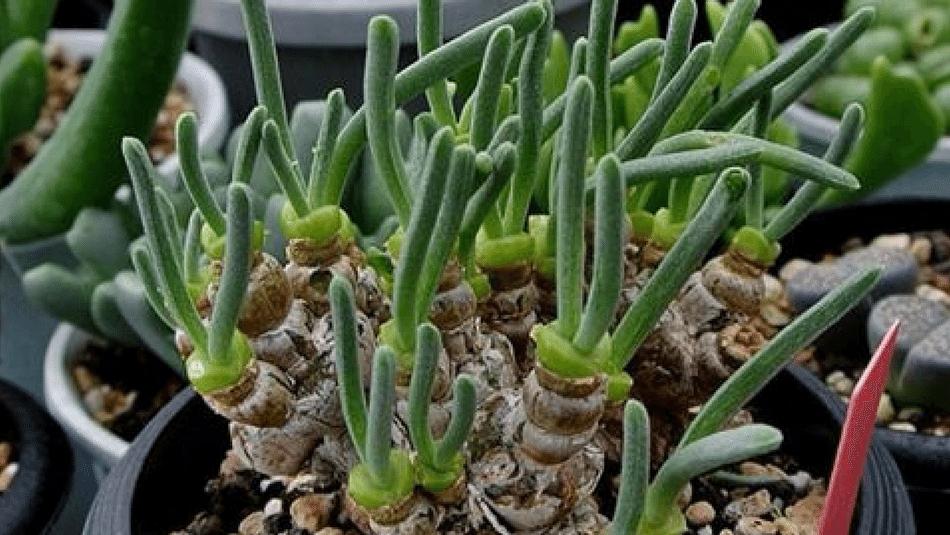 bunny succulents