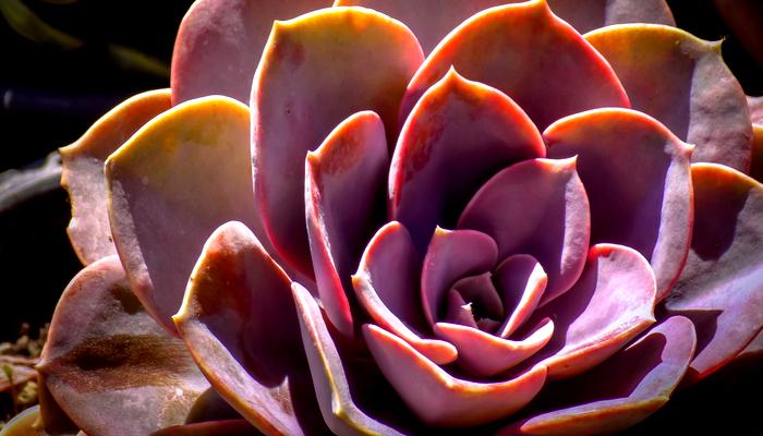 Pachyphytum Oviferum 'Pink Moonstone'