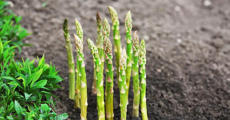 asparagus, a perennial vegetable