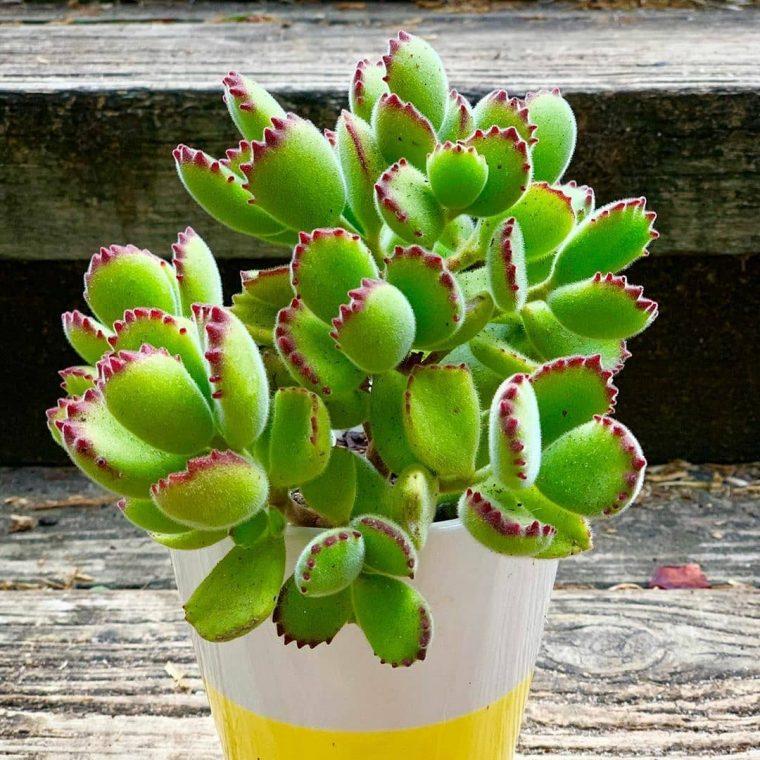 bear paw succulent plant