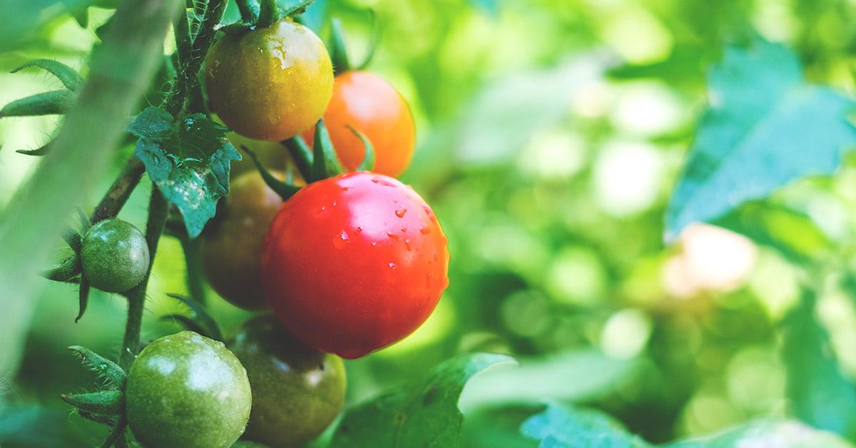 fresh tomato on a vine