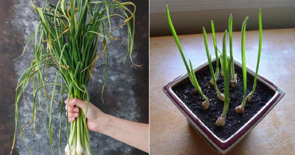 garlic plant