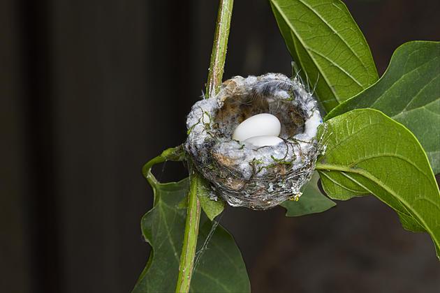 tiny nest with white eggs