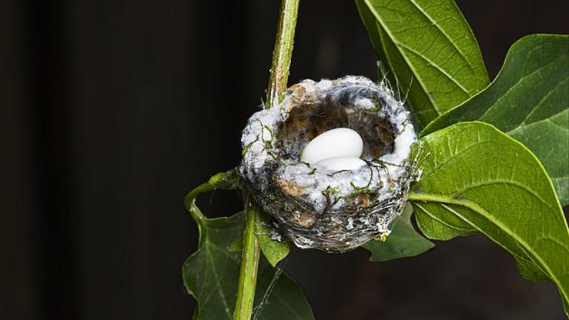 tiny hummingbird nest