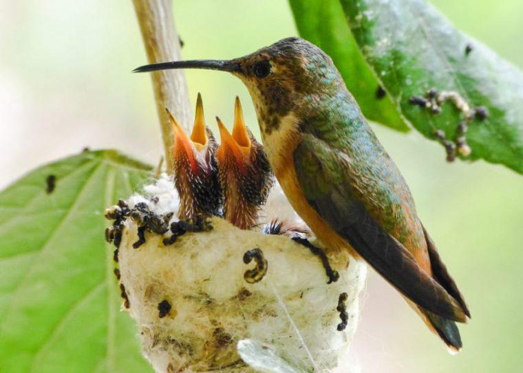 hummingbird with babies