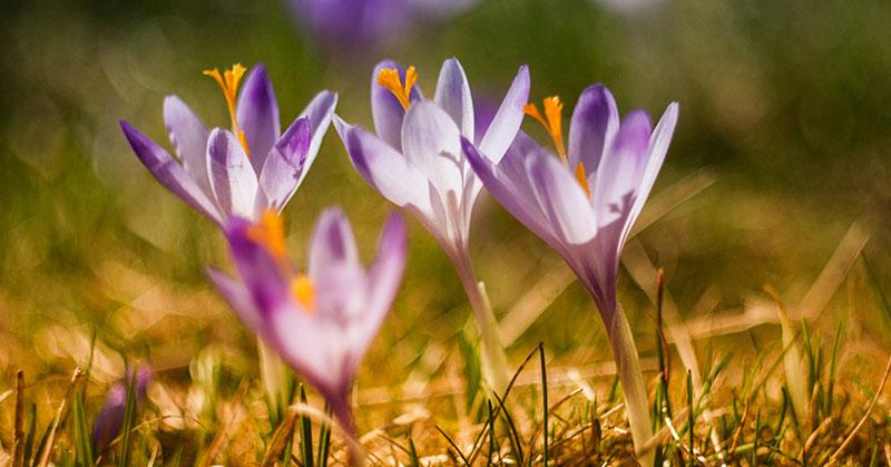violet crocus flowers