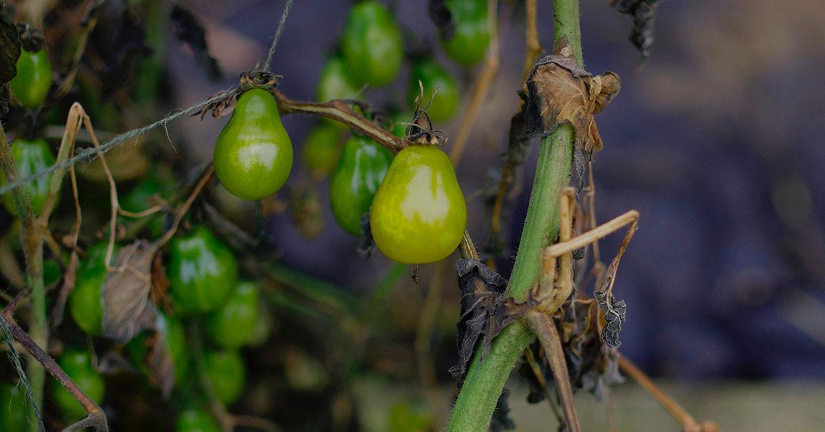 garden magnesium deficient tomato plant
