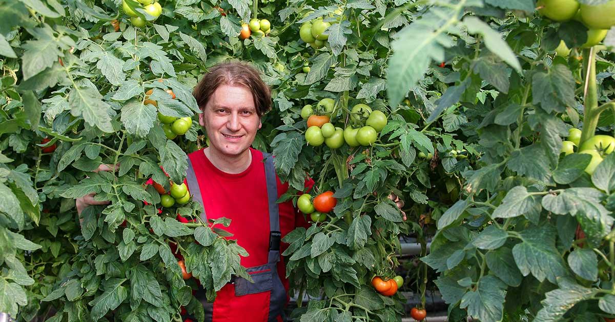 8 foot tomato plant