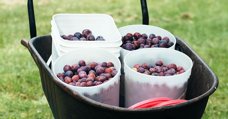 plums in buckets