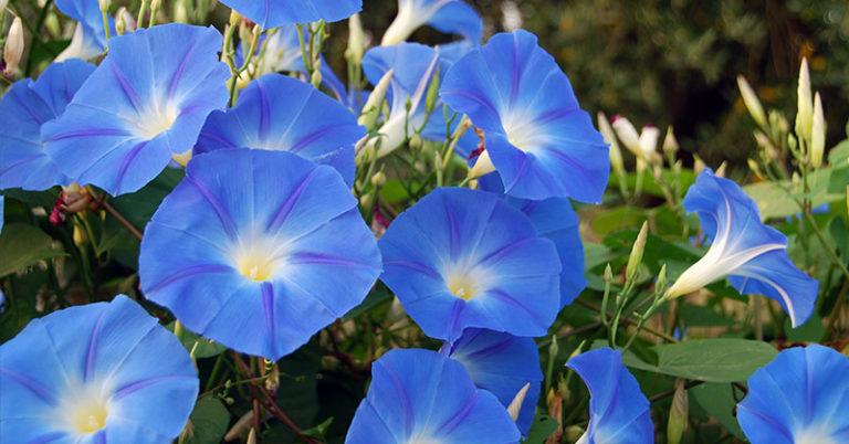 blue morning glory flowers