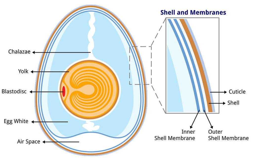 anatomy of an egg