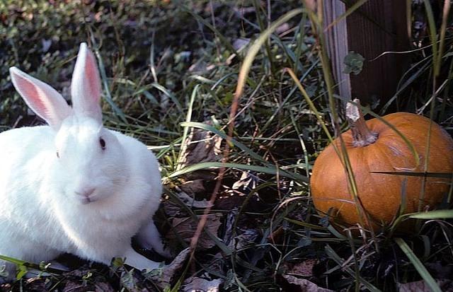 white new zealand rabbit with a pumpkin