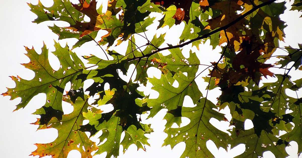 black oak tree leaves
