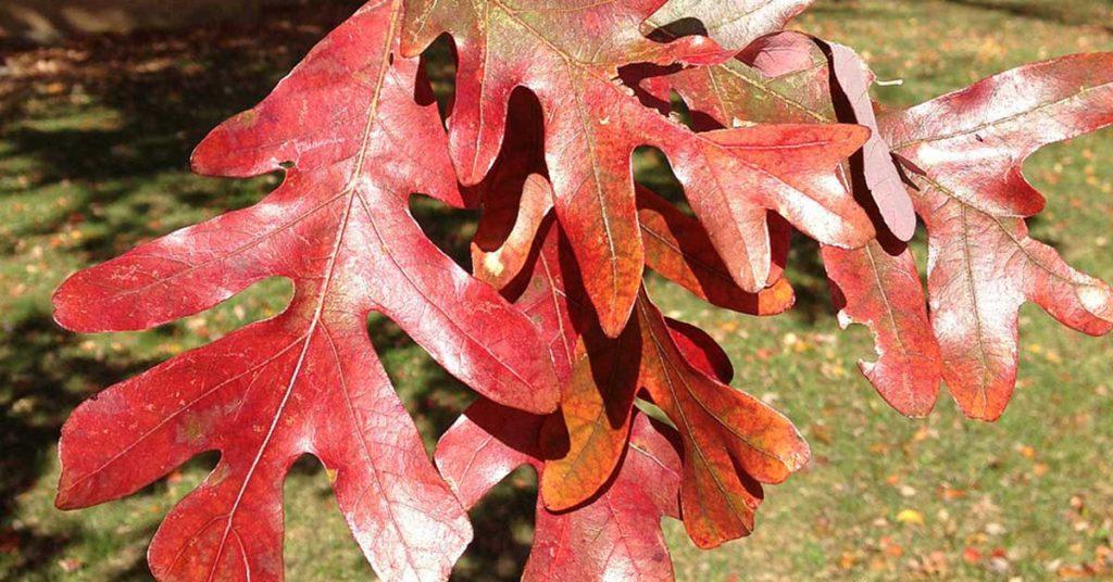 white oak leaves in the fall