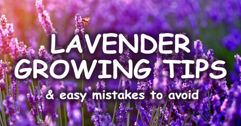 lavender growing tips