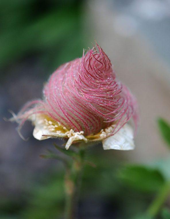 Creeping Avens flower