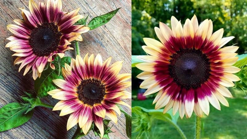 strawberry blond sunflowers
