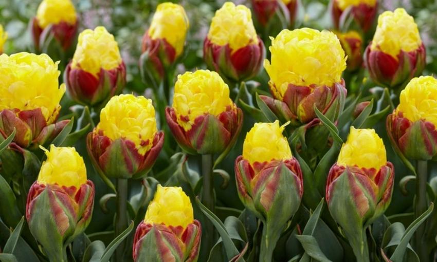 yellow ice cream tulips