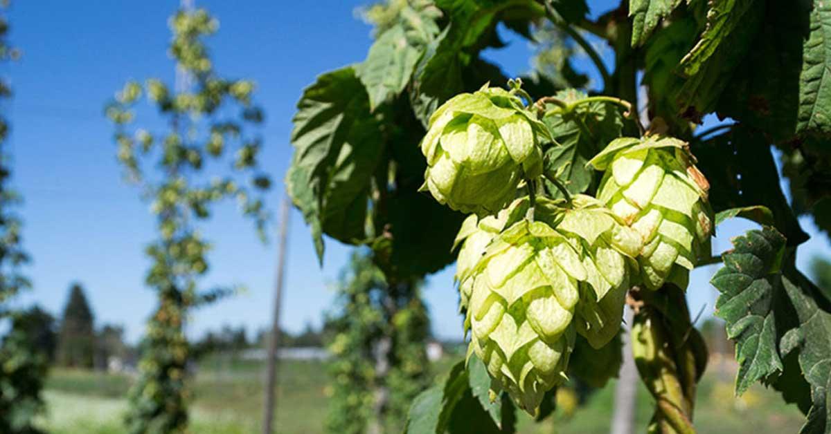 hops fruiting on a vine