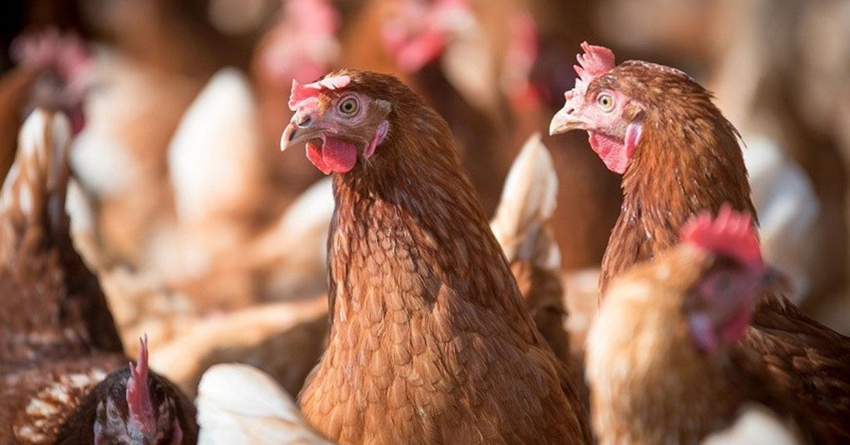 novogen chickens
