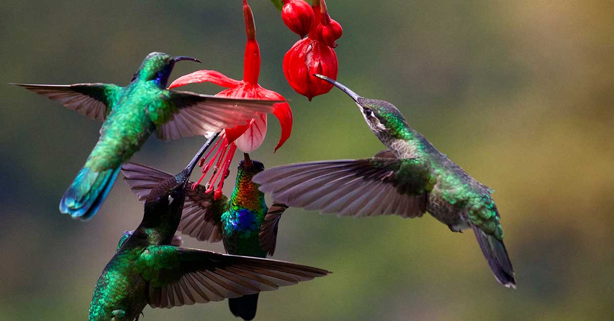 hummingbirds eating nectar from a flower